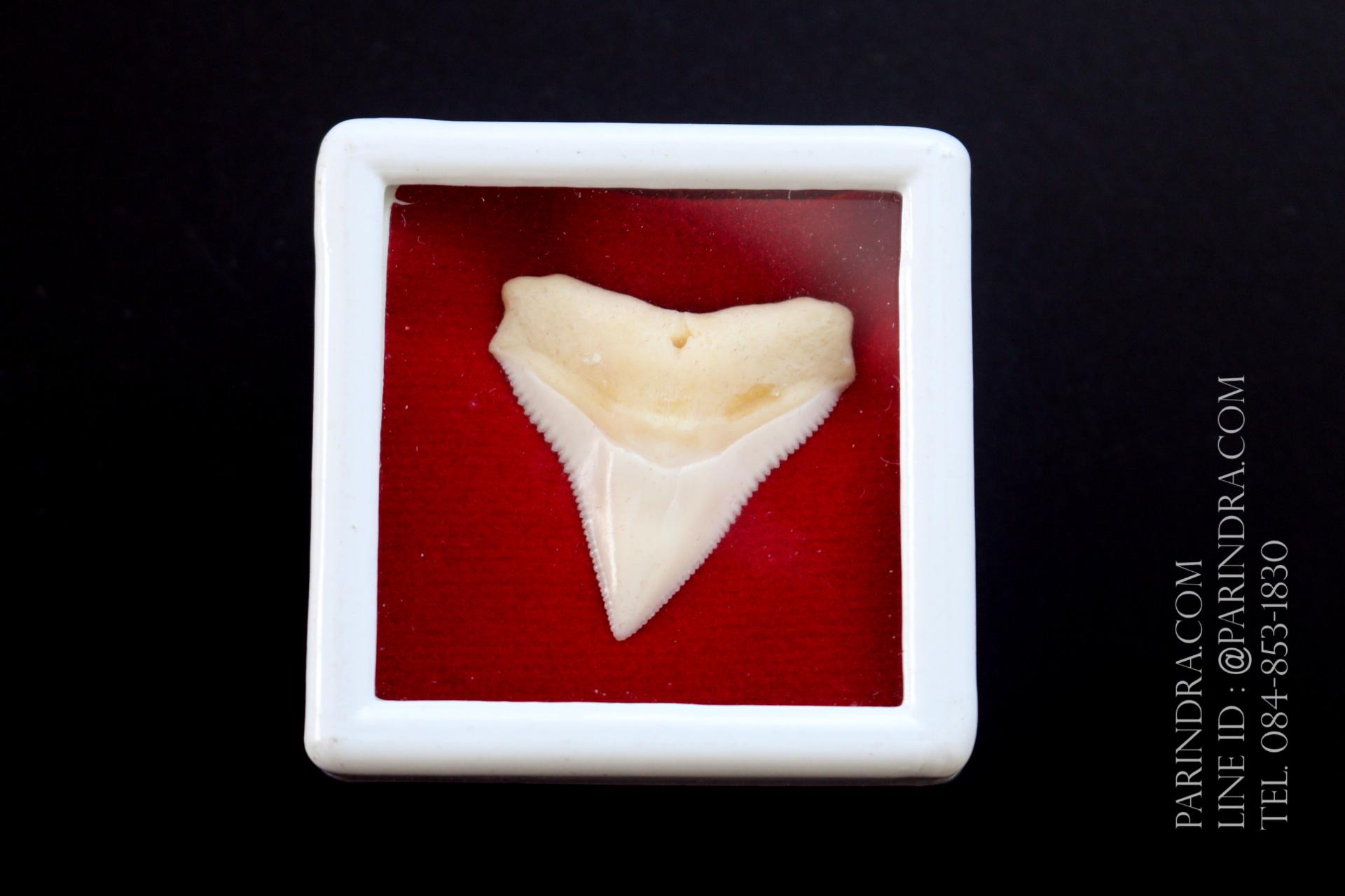 ซี่ฟันปลาฉลามขาวแท้ Shark Tooth ขนาดประมาณ 2.5 cm. ST004
