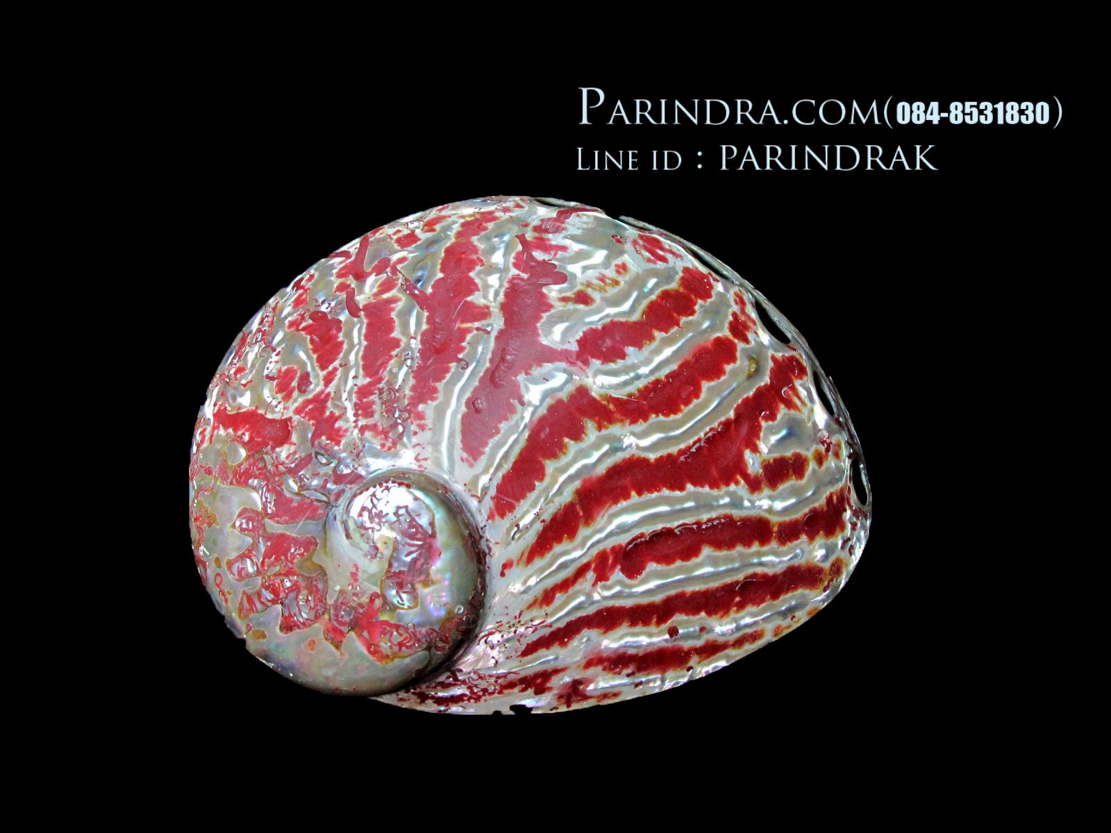 เปลือกหอยเป๋าฮื้อ(Abalone)ขัดและเคลือบเรซิ่นแดง 004