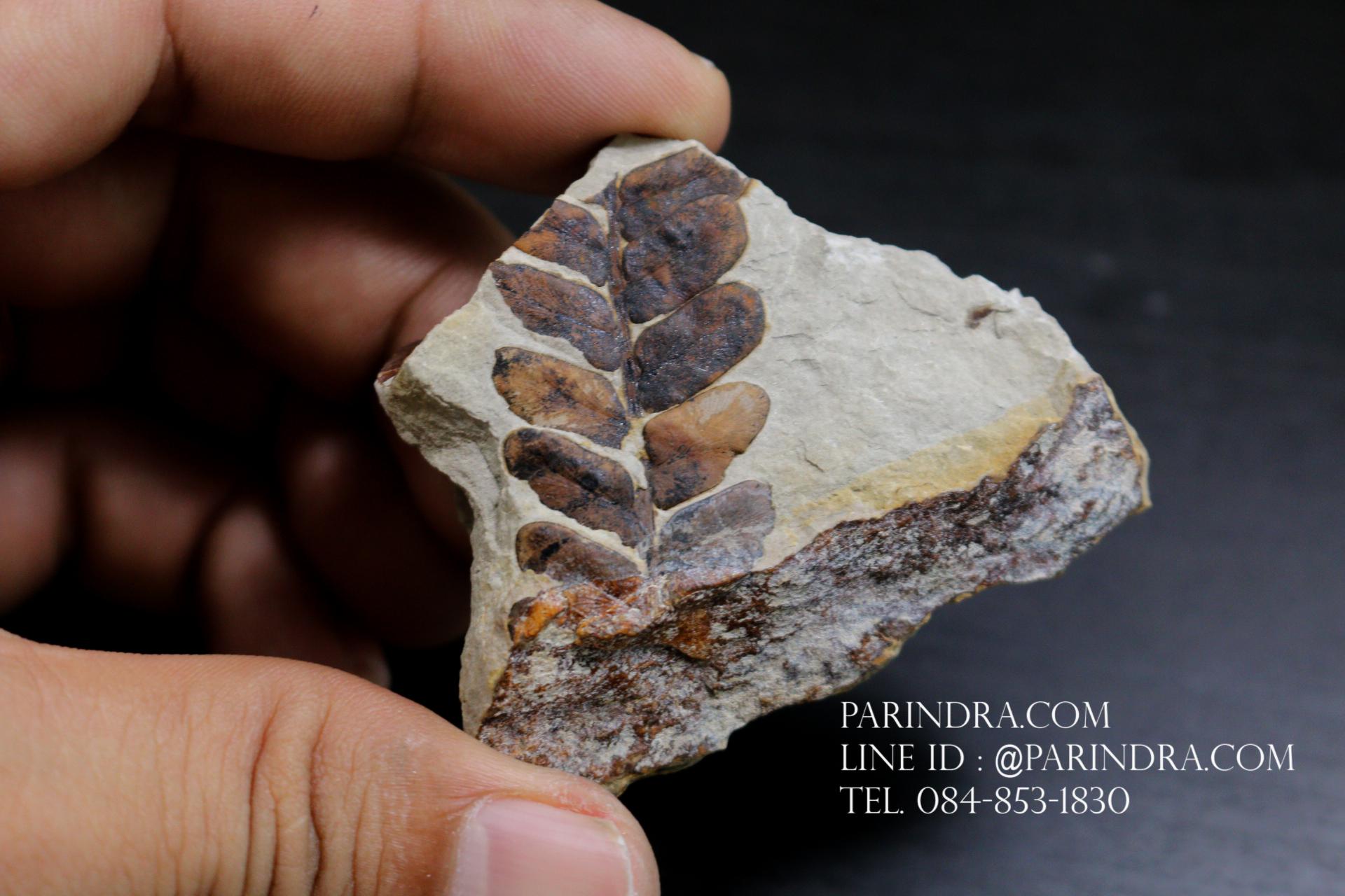 ฟอสซิลเฟิร์น ชนิด Neuropteris ovata จาก SPAIN #FRN003