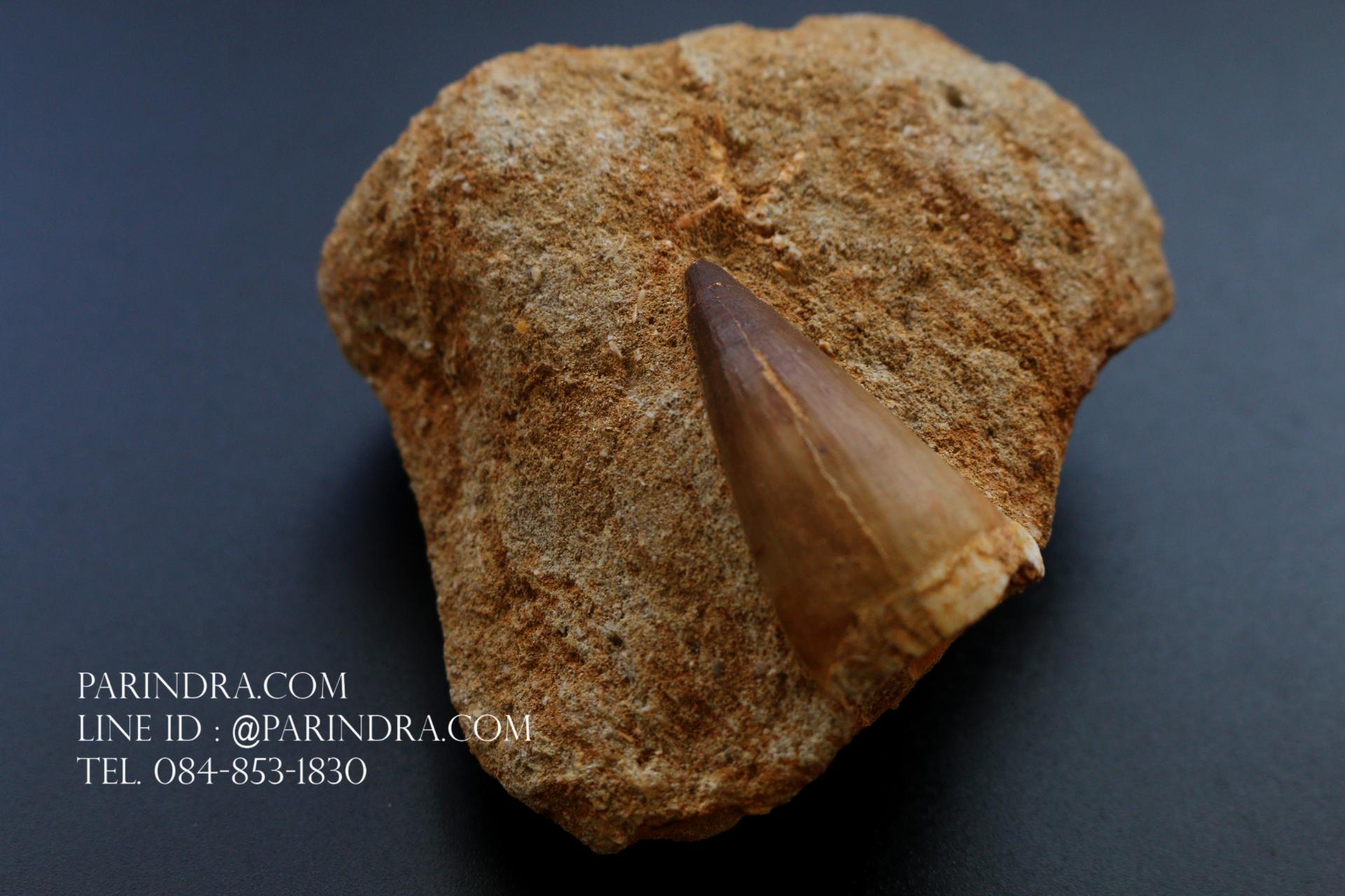 ฟันมีโซซอร์ Mosasaurus Tooth บน Matrix - Khourigba, Morocco #MSS000