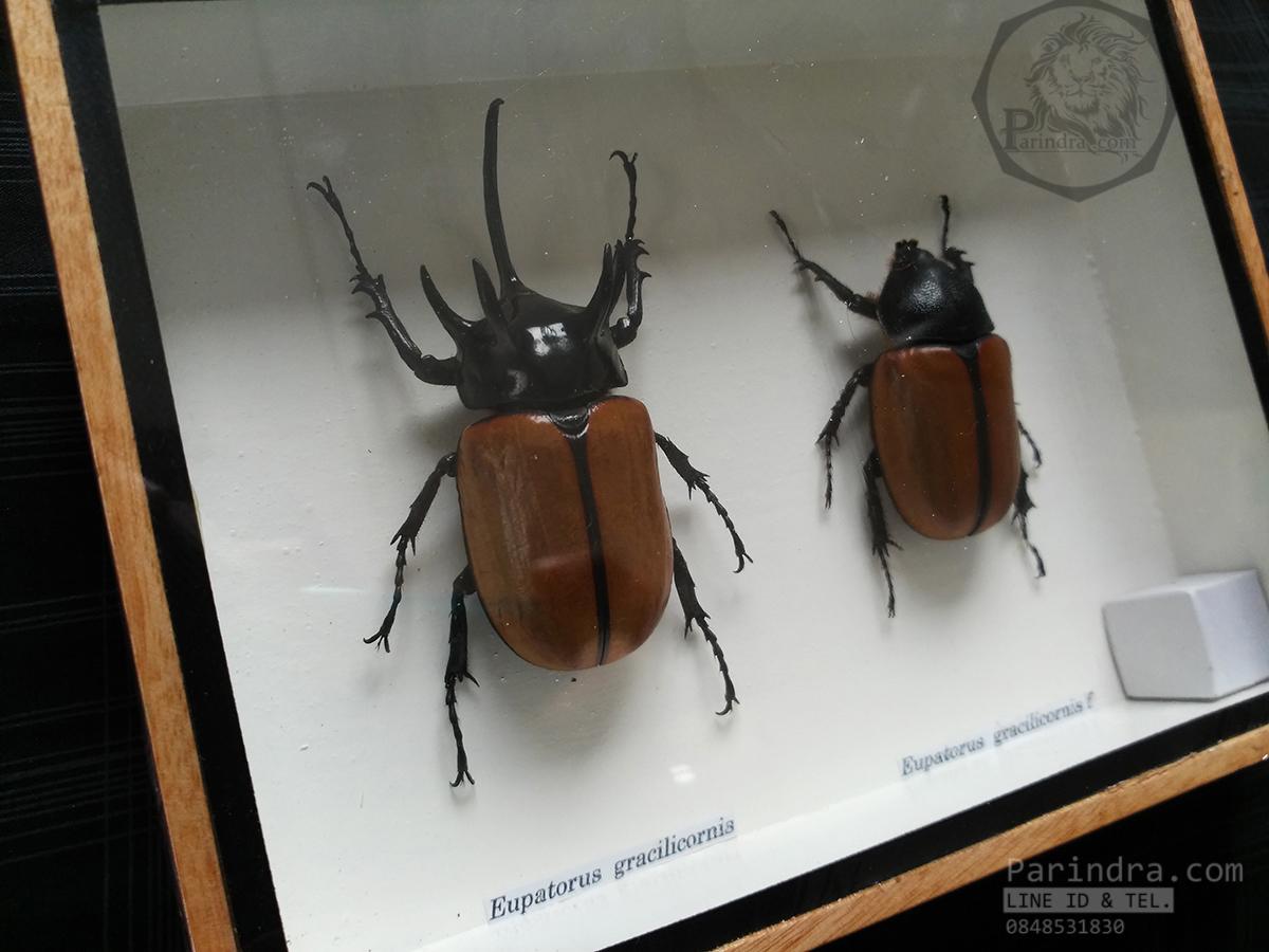 ด้วงกว่างห้าเขา กว่างซางเหนือ ตัวผู้และตัวเมีย (Eupatorus gracilicornis Arrow) สำหรับตั้งโชว์ ขนาด 6x8 นิ้ว