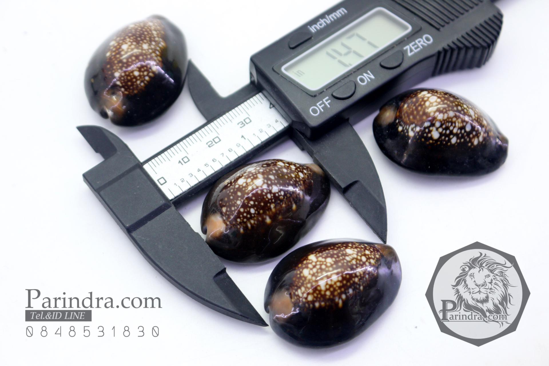 ขายเปลือกหอยเบี้ย หอยเบี้ยแก้ ขนาด 1.4 นิ้ว Monetaria caputserpentis