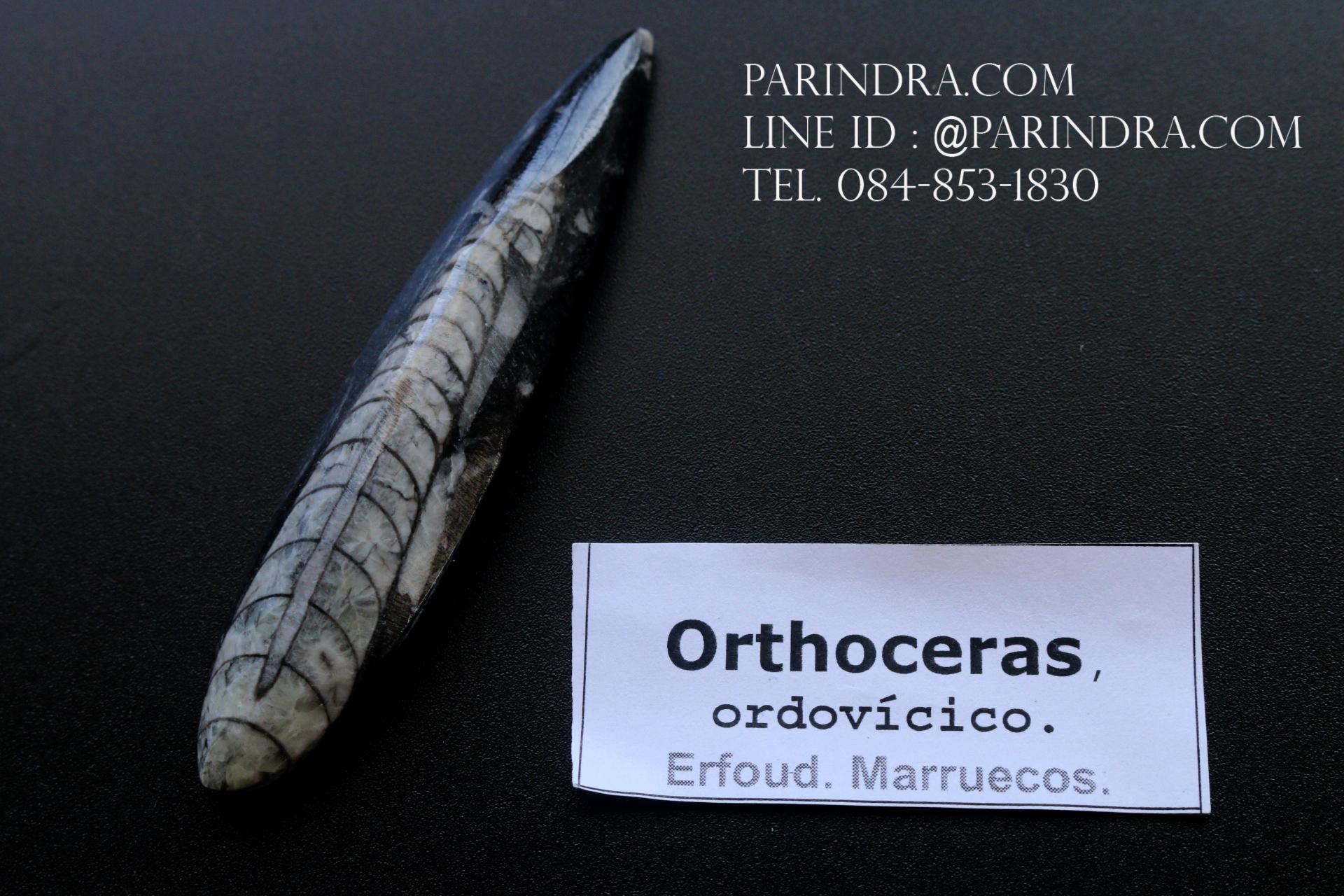 ฟอสซิล Nautiloid ออโทเซอรัส (Orthoceras sp.) - จาก Morocco #OT005