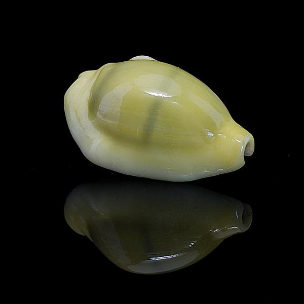 ขายเปลือกหอยเบี้ยจั๊กจั่น หอยเบี้ยจั่น Monetaria moneta