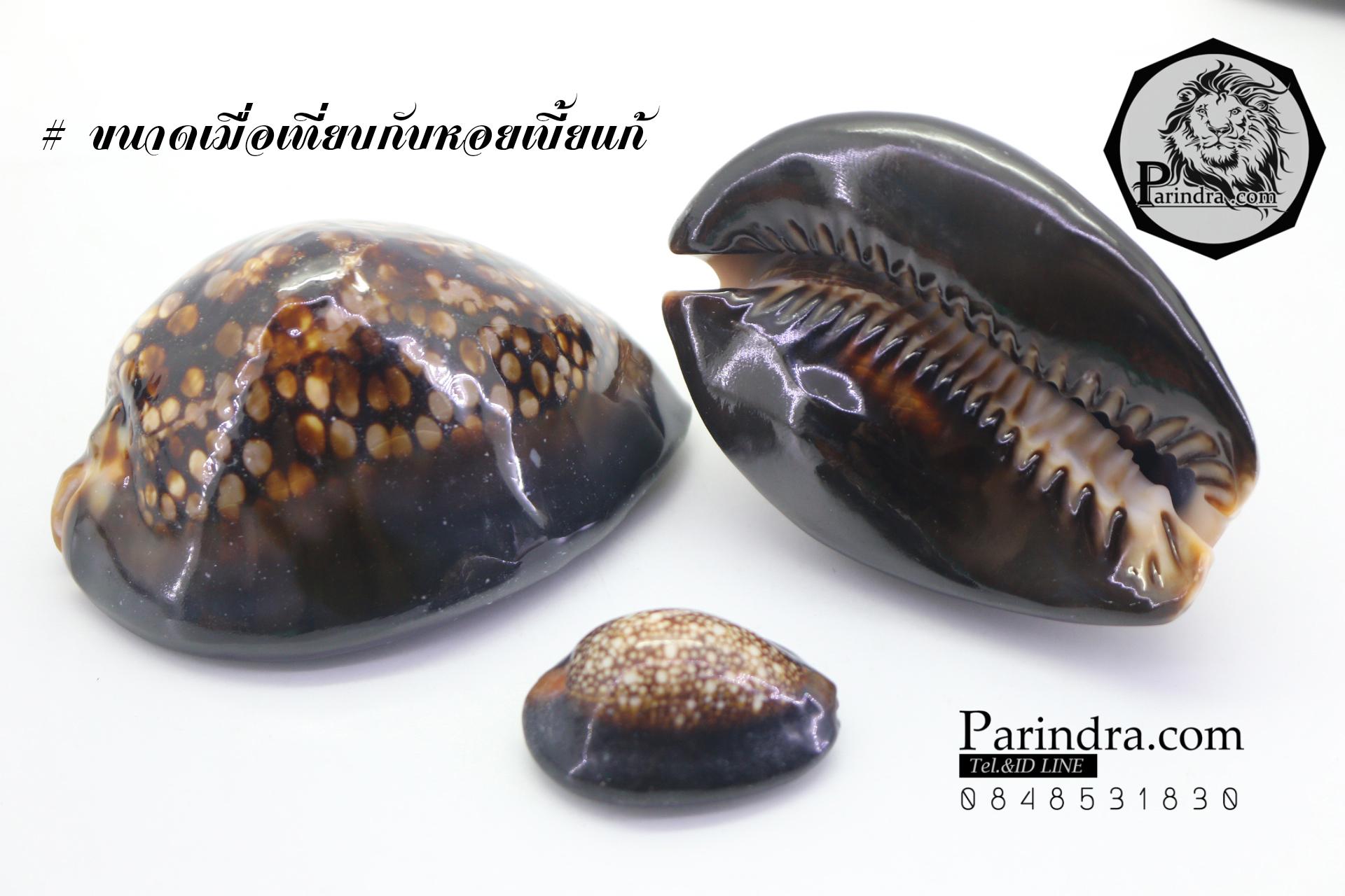 ขายเปลือกหอยเบี้ยขนาดใหญ่ หอยเบี้ยหลังค่อม หอยเบี้ยควาย #Mauritia mauritiana ขนาด 2.5 นิ้ว