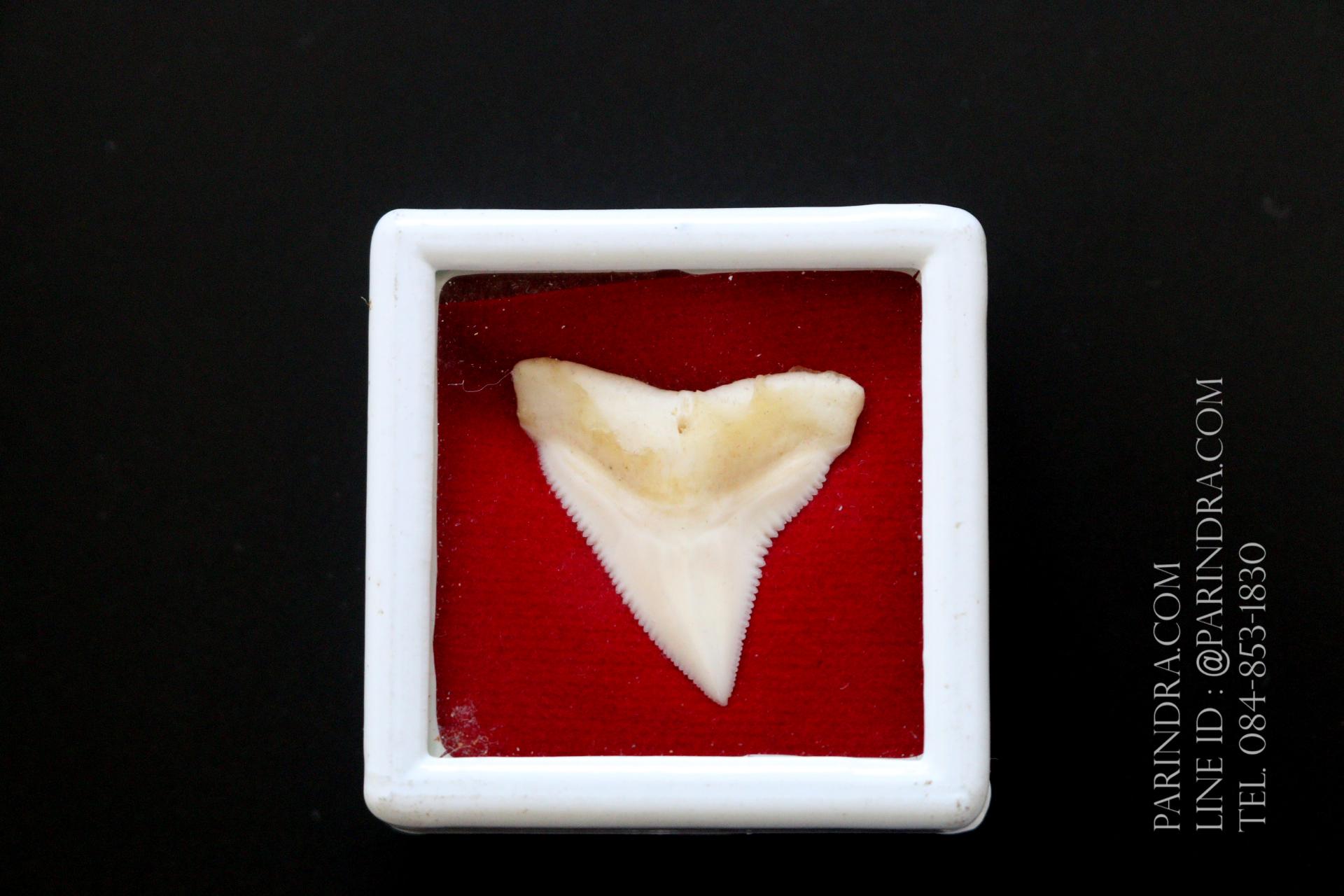 ซี่ฟันปลาฉลามขาวแท้ Shark Tooth ขนาดประมาณ 2.5 cm. ST008