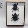 แมลงกุดจี่ยักษ์ ตัวใหญ่มาก แบบคู่ (Heliocopris dominus) ในกรอบไม้น้ำตาล สำหรับตั้งโชว์ ขนาด 6x8 นิ้ว