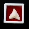 ซี่ฟันปลาฉลามขาวแท้ Shark Tooth ขนาดประมาณ 2.5 cm. ST014
