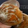 เปลือกหอยเป๋าฮื้อแท้ (Abalone) Australia ผิวธรรมชาติ ขนาดใหญ่ 6 นิ้ว สำหรับตกแต่งหรือสะสม