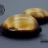 ขายเปลือกหอยเบี้ยท้องดำ Mole Cowry (Talparia talpa) คละไซส์ ขนาดเฉลี่ยประมาณ 50 - 60 mm.