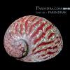 เปลือกหอยเป๋าฮื้อ(Abalone)ขัดและเคลือบเรซิ่นแดง 003