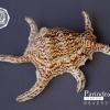 ขายเปลือกหอยจักรนารายณ์ Lambis chiragra สภาพสมบูรณ์ #LC006