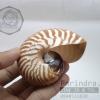 เปลือกหอย นอติลุส หอยงวงช้าง ขนาดเล็ก ขนาดประมาณ 3 นิ้ว ผิวสีธรรมชาติ