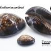 ขายเปลือกหอยเบี้ยขนาดใหญ่ หอยเบี้ยหลังค่อม หอยเบี้ยควาย #Mauritia mauritiana ขนาด 3 นิ้ว