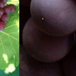 Grape Seed Extract สารสกัดจากเมล็ดองุ่น คืออะไร ประโยชน์ สรรพคุณอย่างไร ยี่ห้อไหนดี