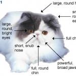 ลักษณะของแมวเปอร์เ้ซีย