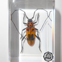 แมลงในเรซิ่น แมลงสต๊าฟ หล่อในเรซิ่นใส ด้วงลายจุดน้ำตาลหนวดยาว Spotted Brownish Longhorn Beetle - Purpuricenus lituratus