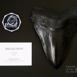 โมเดลจำลอง ฟันฉลามยักษ์เมกกาโลดอน Megalodon ขนาด 6 นิ้ว พร้อมฐานวาง #MGT006