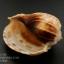 เปลือกหอยมะเฟือง #Harpa articularis ขนาด 4 นิ้ว thumbnail 7