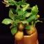 C001-สวนต้นไม้มงคล มะยม ส้ม กล้วย ขนุน_ไซร์ 3-6 นิ้ว thumbnail 3