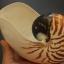 เปลือกหอยงวงช้าง นอติลุส Nautilus pompilus ขนาด 7 นิ้ว #002 thumbnail 5