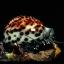 ขายเปลือกหอยเบี้ยขนาดใหญ่ หอยเบี้ยโป่งลายเสือ หอยเบี้ยลายเสือ # Cypraea tigris ขนาด 70-90 มม. thumbnail 6