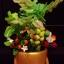 C001-สวนต้นไม้มงคล มะยม ส้ม กล้วย ขนุน_ไซร์ 3-6 นิ้ว thumbnail 4