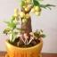 M001-ต้นมะยม 12 นิ้ว thumbnail 3