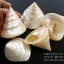 ขายเปลือกหอยนมสาว Trochus niloticus สภาพสมบูรณ์ ผิวขัดมัน สวยงาม thumbnail 8