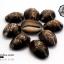 ขายเปลือกหอยเบี้ย หอยเบี้ยแก้ ขนาด 1.5 นิ้ว Monetaria caputserpentis thumbnail 3
