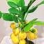 M007-ต้นมะยม ไซร์ 6 นิ้ว thumbnail 3