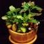 C001-สวนต้นไม้มงคล มะยม ส้ม กล้วย ขนุน_ไซร์ 3-6 นิ้ว thumbnail 1