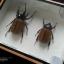 ด้วงกว่างห้าเขา กว่างซางเหนือ ตัวผู้และตัวเมีย (Eupatorus gracilicornis Arrow) สำหรับตั้งโชว์ ขนาด 6x8 นิ้ว thumbnail 2