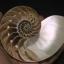ขายเปลือกหอยงวงช้าง นอติลุสแบบผ่าซีก Nautilus Pompilus หอยหายาก NP004 thumbnail 1