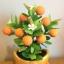 S004-ต้นส้มสูง 9 นิ้ว จำนวน 9 ลูก thumbnail 4