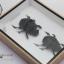 แมลงกุดจี่ยักษ์ ตัวใหญ่มาก แบบคู่ (Heliocopris dominus) ในกรอบไม้น้ำตาล สำหรับตั้งโชว์ ขนาด 6x8 นิ้ว thumbnail 6