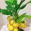 M007-ต้นมะยม ไซร์ 6 นิ้ว thumbnail 2
