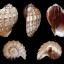 เปลือกหอยมะเฟือง #Harpa articularis ขนาด 4 นิ้ว thumbnail 9