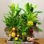 C015-สวนต้นไม้มงคล มะยม ส้ม กล้วย ขนุน 3-12 นิ้ว thumbnail 5