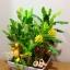 C015-สวนต้นไม้มงคล มะยม ส้ม กล้วย ขนุน 3-12 นิ้ว thumbnail 4