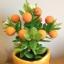 S004-ต้นส้มสูง 9 นิ้ว จำนวน 9 ลูก thumbnail 5