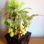 C006-สวนต้นไม้มงคล มะยม ส้ม กล้วย ขนุน_ไซร์ 3-9 นิ้ว thumbnail 2