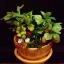 C001-สวนต้นไม้มงคล มะยม ส้ม กล้วย ขนุน_ไซร์ 3-6 นิ้ว thumbnail 2