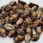 ขายเปลือกหอยเบี้ย หอยเบี้ยแก้ ขนาด 1.3 นิ้ว Monetaria caputserpentis thumbnail 6