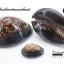 ขายเปลือกหอยเบี้ยขนาดใหญ่ หอยเบี้ยหลังค่อม หอยเบี้ยควาย #Mauritia mauritiana ขนาด 2.5 นิ้ว thumbnail 1