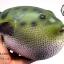 โมเดลปลาปักเป้า PUFFER Fish แบบยางอ่อนนุ่มนิ่ม ตั้งโชว์สวย ขนาดใหญ่ 14 นิ้ว thumbnail 4