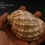 เปลือกหอยมะเฟือง #Harpa articularis ขนาด 4 นิ้ว thumbnail 1