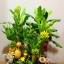 C015-สวนต้นไม้มงคล มะยม ส้ม กล้วย ขนุน 3-12 นิ้ว thumbnail 1