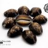 ขายเปลือกหอยเบี้ย หอยเบี้ยแก้ หอยเบี้ยหัวงู Monetaria caputserpentis ขนาด กลาง (1.3 - 1.4 นิ้ว)