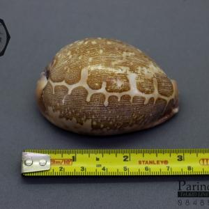 ขายเปลือกหอยเบี้ยแผนที่ Map Cowry (Leporicypraea mappa) ขนาด 71.5 mm #MPP000